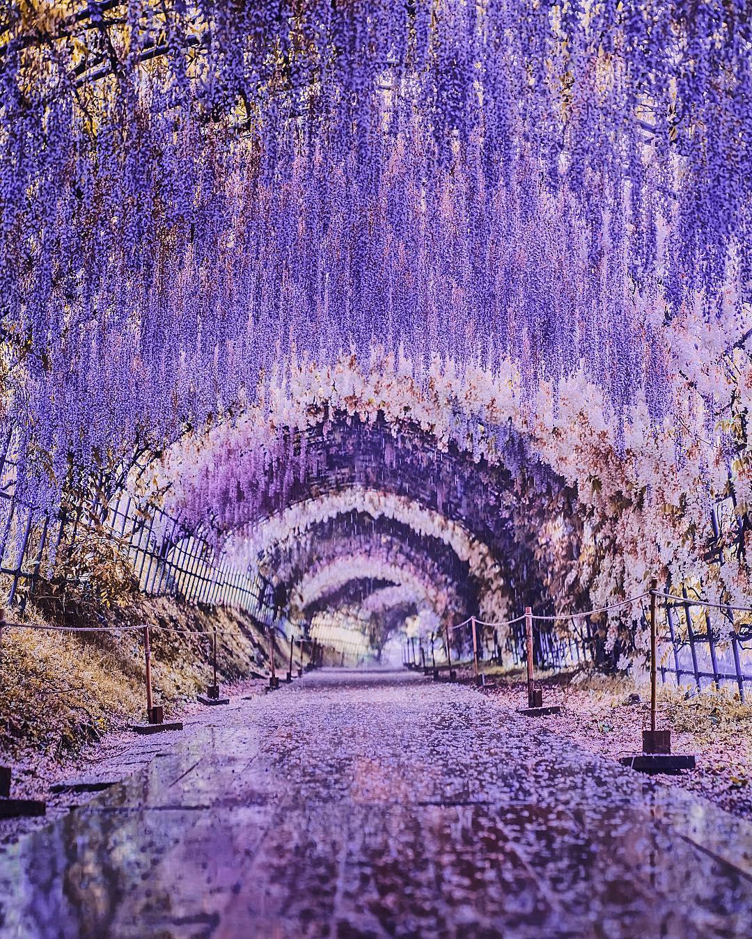 """Bắt trọn mùa hoa Tử Đằng đẹp """"rụng tim"""" ở Nhật Bản trong tháng 04 & 05 3"""