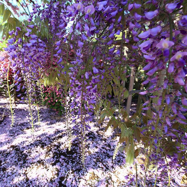 """Bắt trọn mùa hoa Tử Đằng đẹp """"rụng tim"""" ở Nhật Bản trong tháng 04 & 05 6"""
