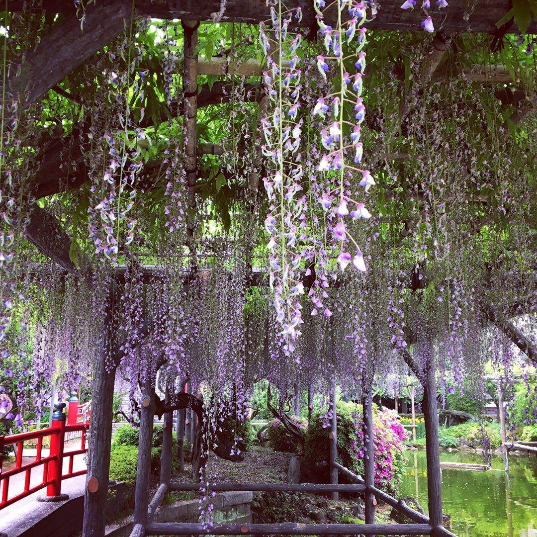 """Bắt trọn mùa hoa Tử Đằng đẹp """"rụng tim"""" ở Nhật Bản trong tháng 04 & 05 7"""