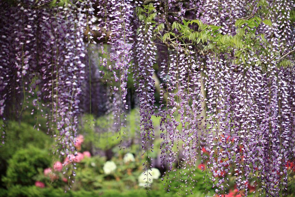 """Bắt trọn mùa hoa Tử Đằng đẹp """"rụng tim"""" ở Nhật Bản trong tháng 04 & 05 20"""