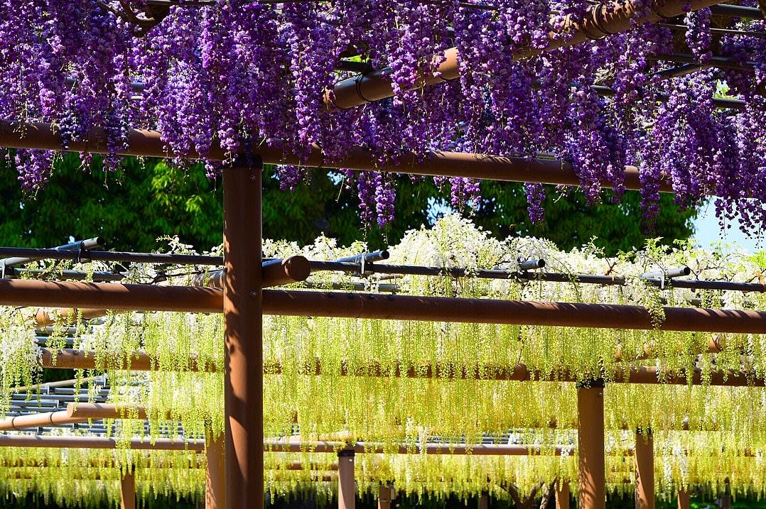 """Bắt trọn mùa hoa Tử Đằng đẹp """"rụng tim"""" ở Nhật Bản trong tháng 04 & 05 11"""