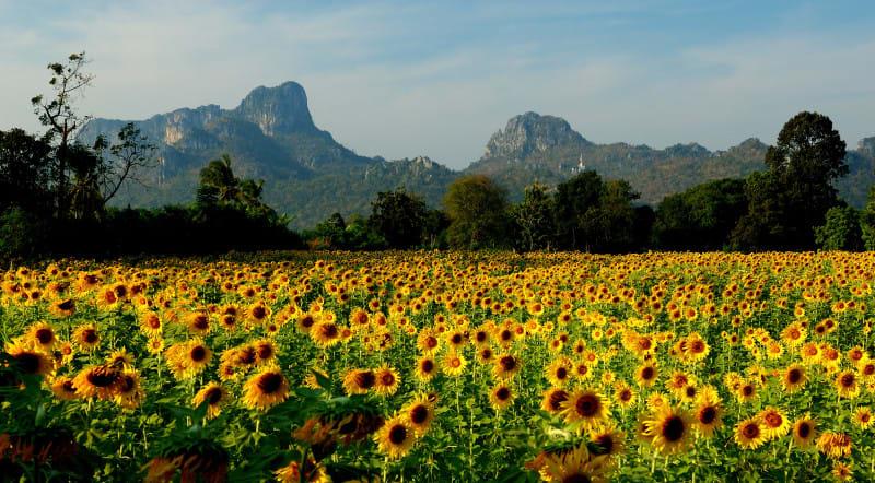 Field of sunflowers in Lopburi Thailand e1418213641483