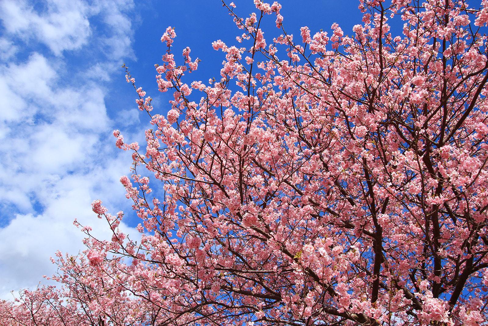 Ngắm Kawazu-zakura và trời sao tại Miurakaigan, Kanazawa-ken 3