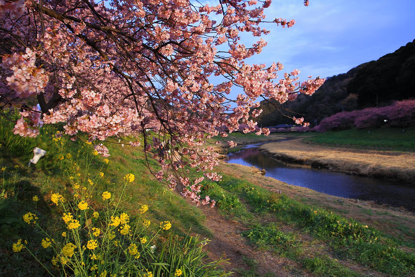 Ngắm Kawazu-zakura và trời sao tại Miurakaigan, Kanazawa-ken 5