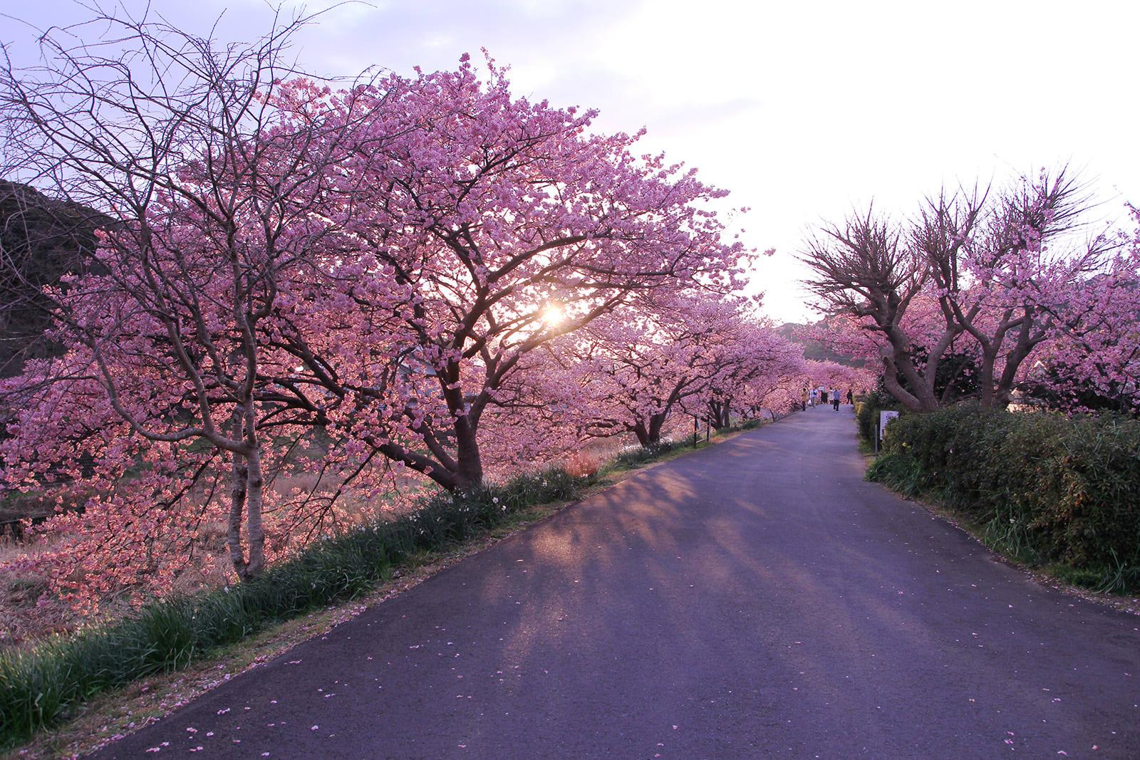 Ngắm Kawazu-zakura và trời sao tại Miurakaigan, Kanazawa-ken 7