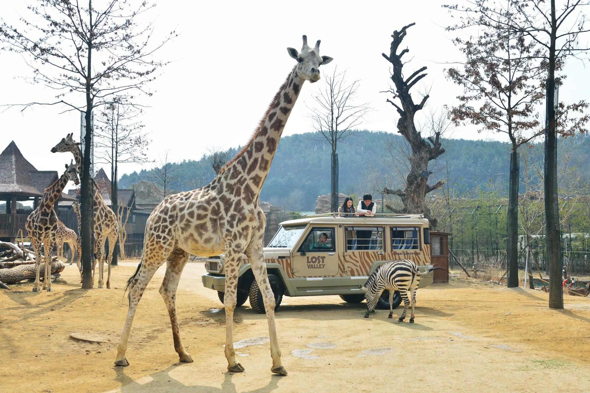 How-To-Make-The-Most-Out-Of-Your-Trip-To-South-Korea=everland-safari