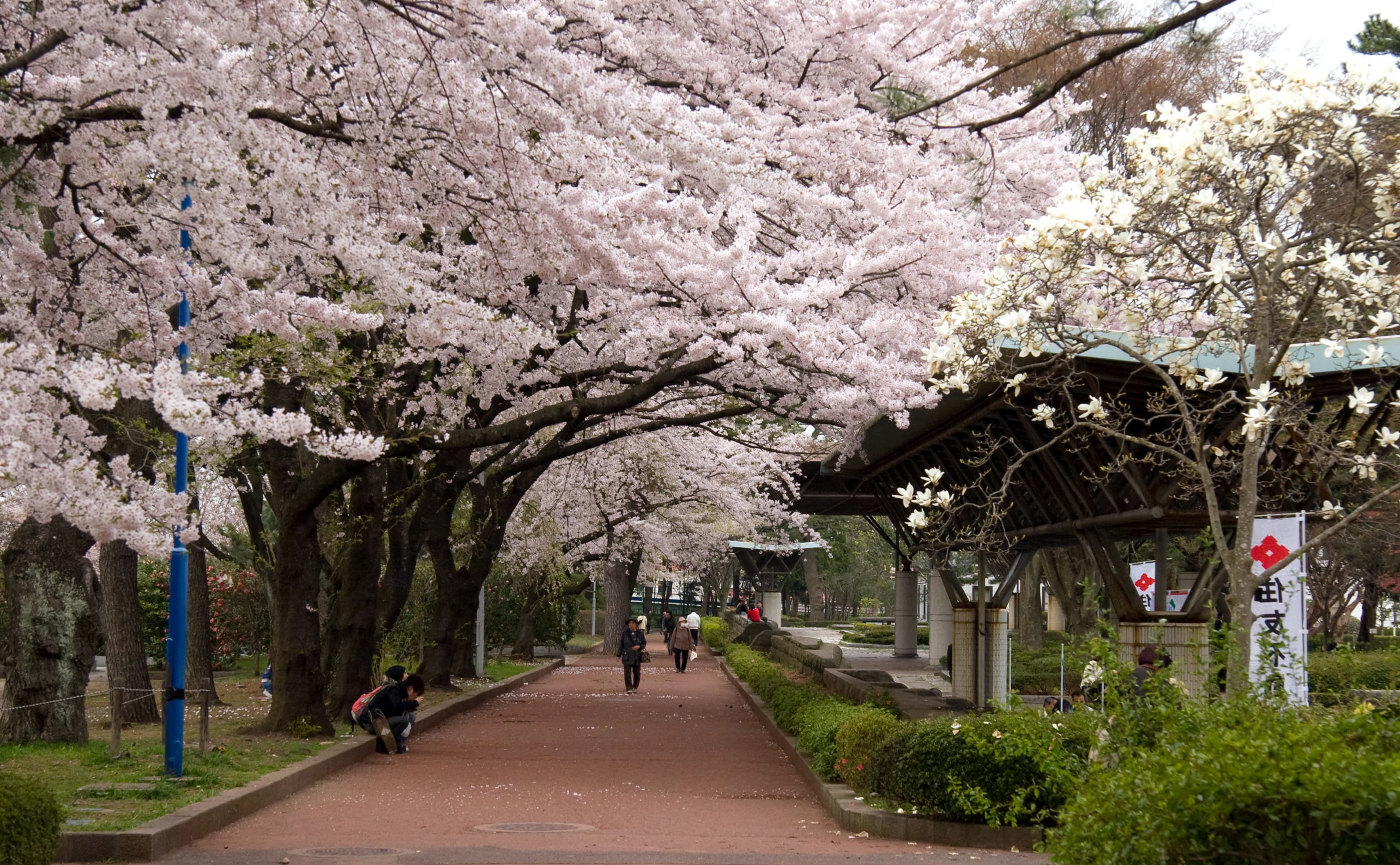 Japan Cherry Blossoms Spring