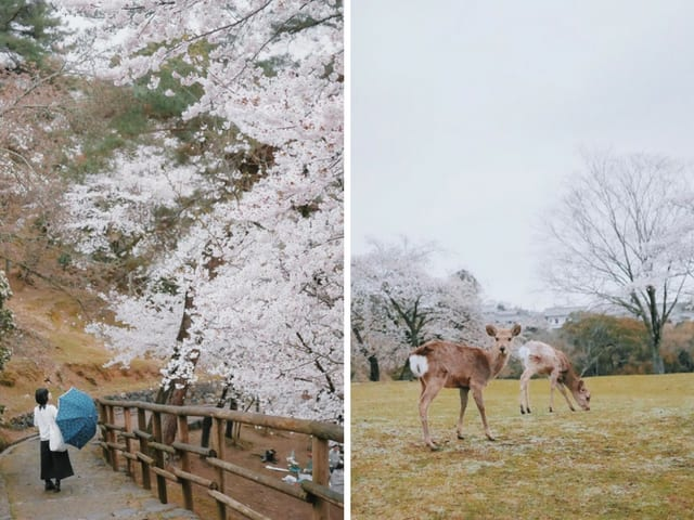 Nara Deer Park Cherry Blossom