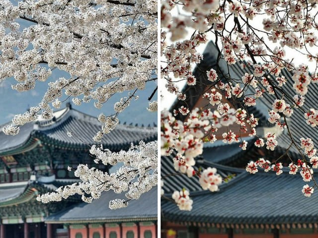 Gyeong buk gung fleur de cerisier