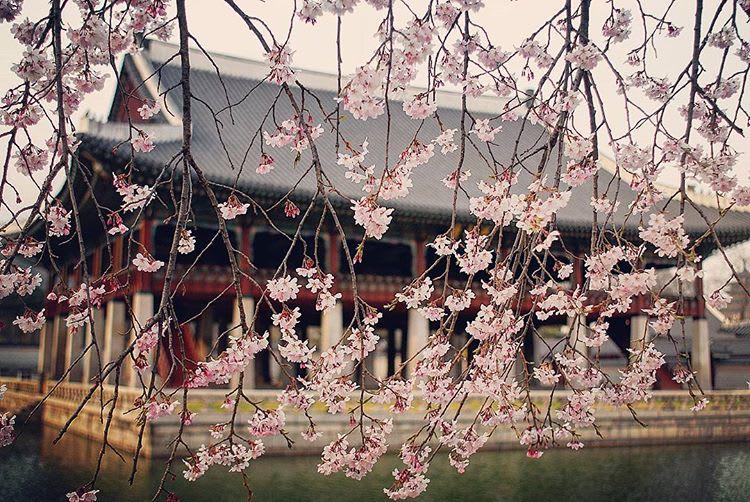 Gyeongbukgung Palace fleur de cerisier