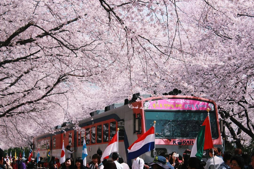 Korea Jinhae Festival Train