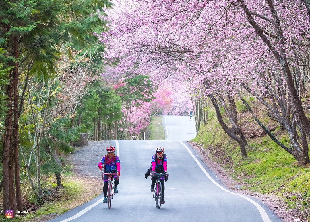 wuling farm cherry blossom taiwan