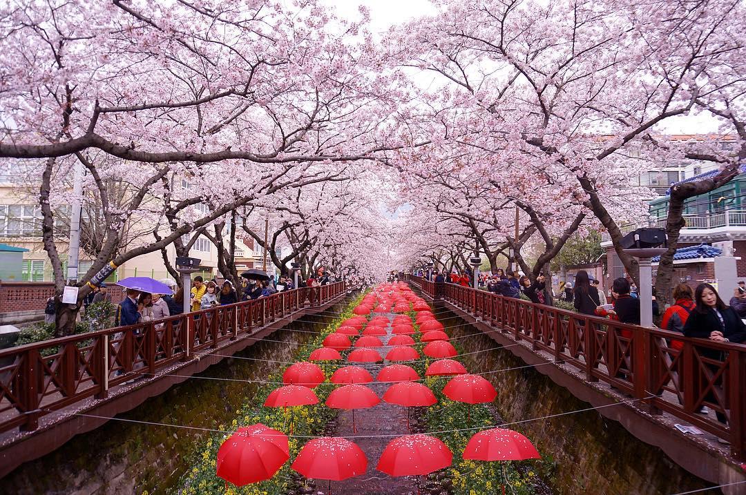 Pont du Festival de Jinhae en Corée