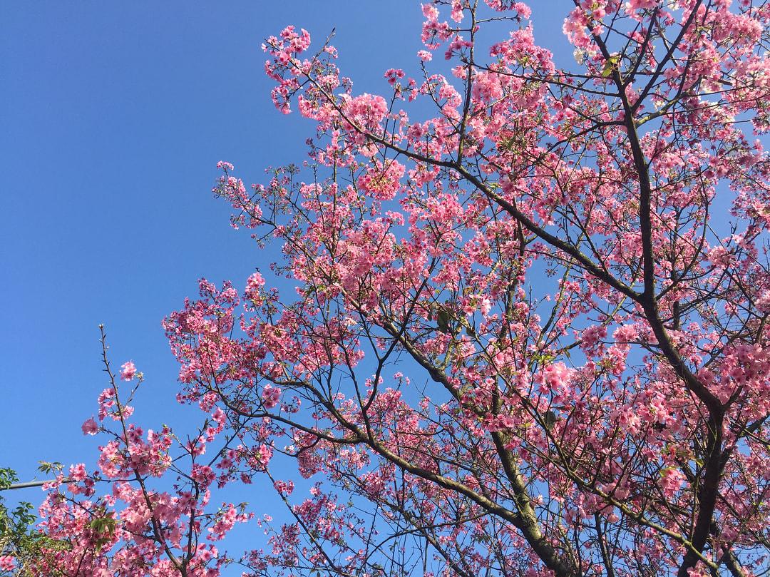 yang ming shan fleur de cerisier
