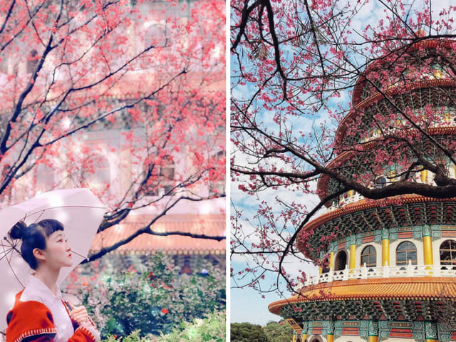 Fleur de cerisier Wuji tianyuan