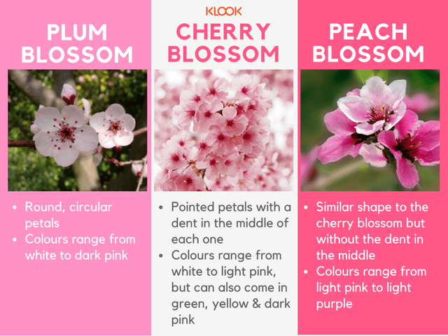 Types of flowers during hanami