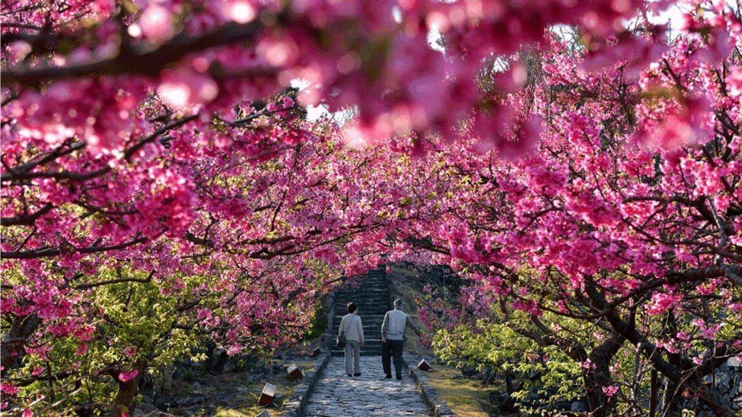 cherry blossom okinawa