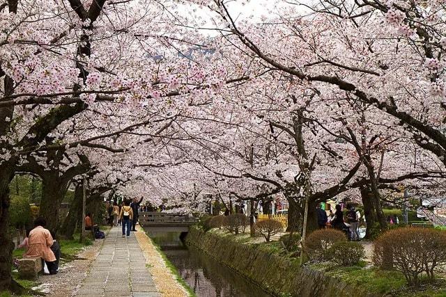 philosophers path cherry blossom