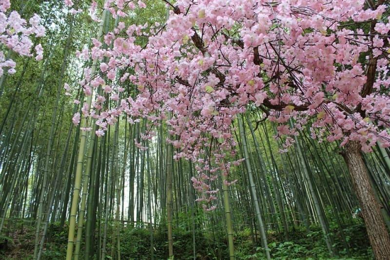 gwangju bamboo forest cherry blossom