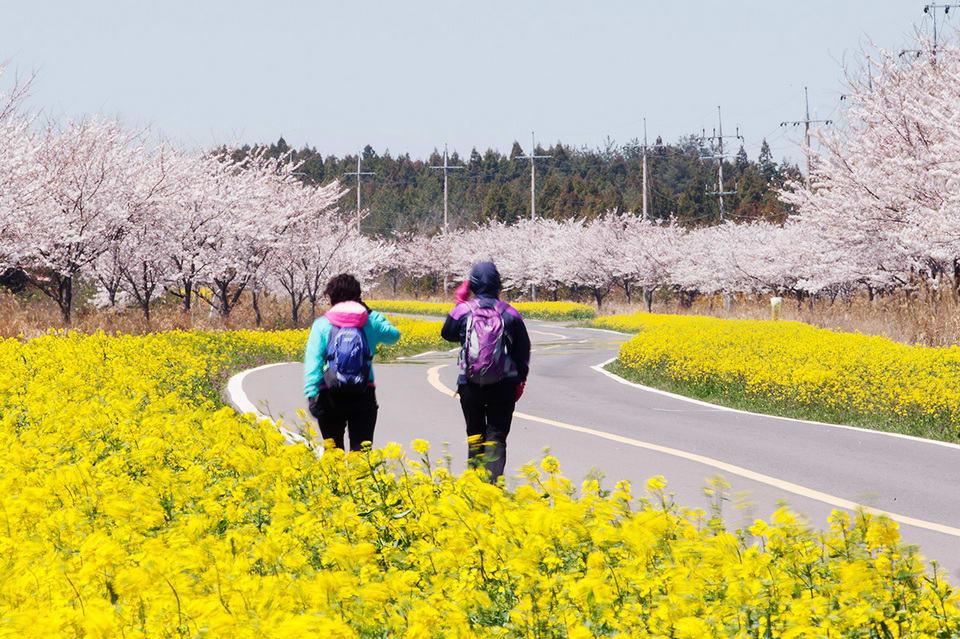 seogwipo cherry blossom jeju