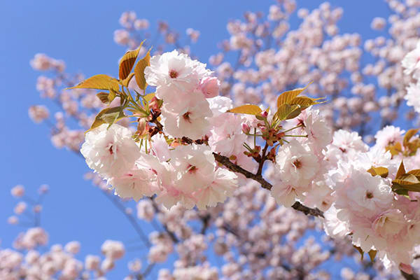 jeju cherry blossom festival seogwipo
