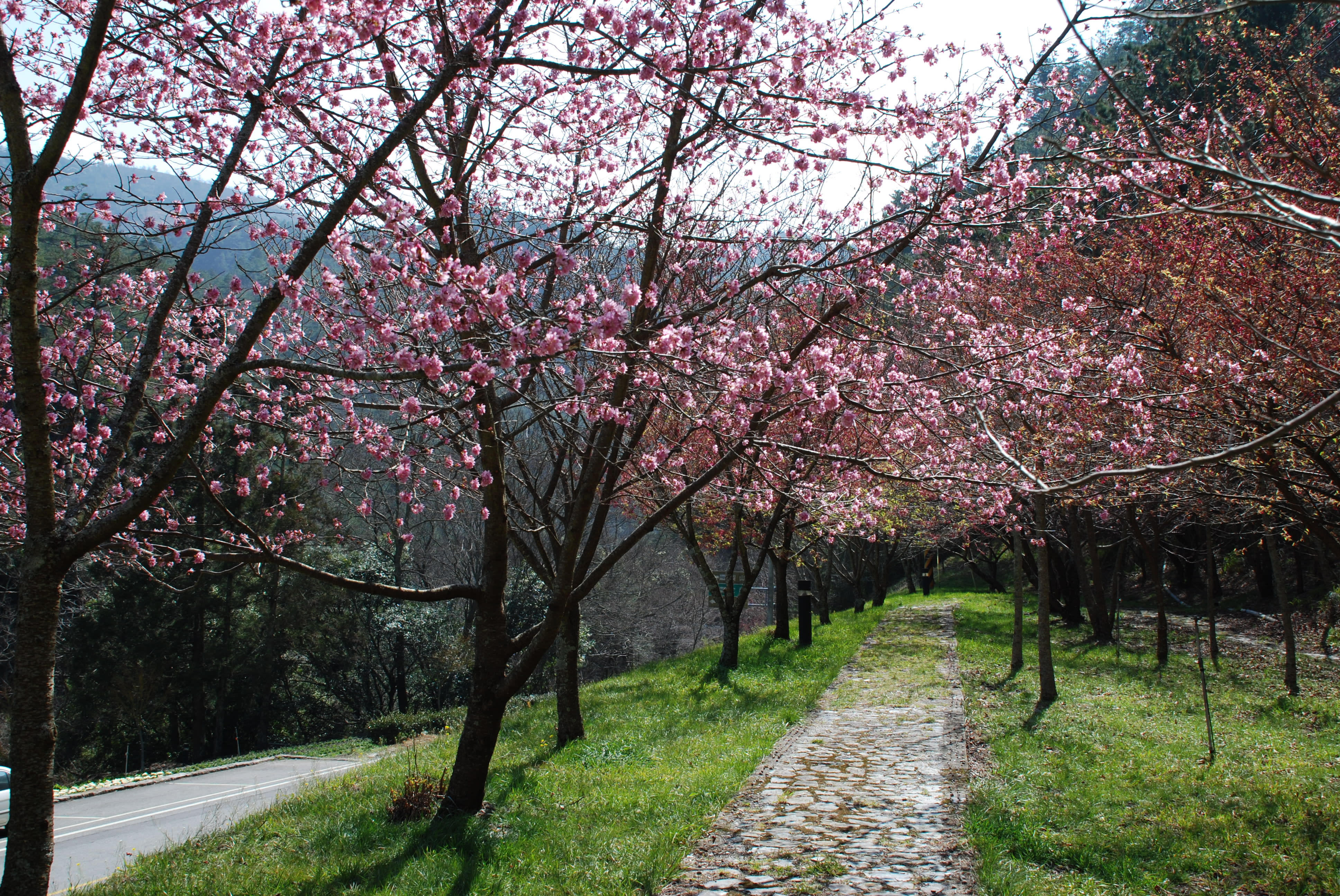Wuling Farm cherry blossom path