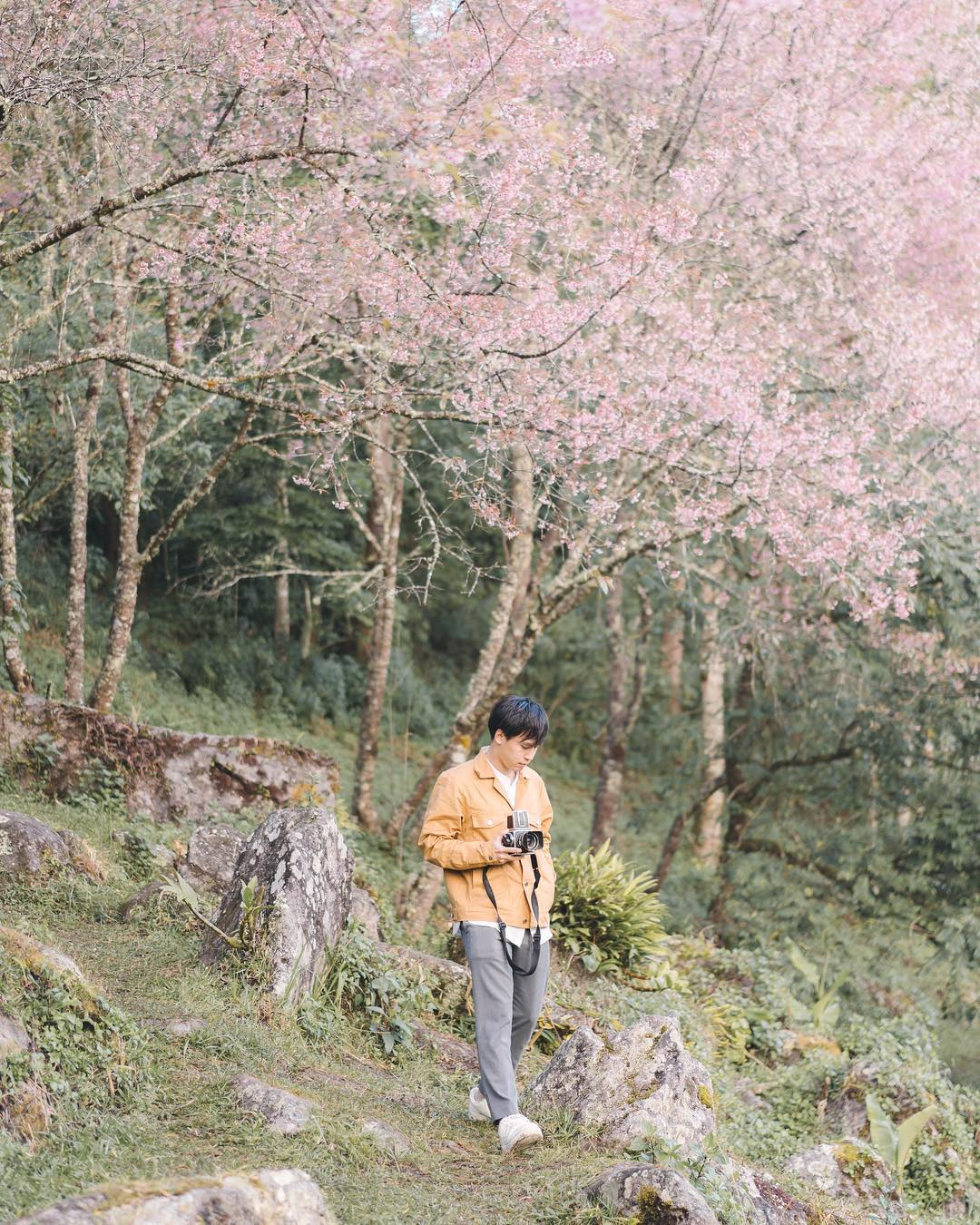 Cherry blossoms on Doi Inthanon