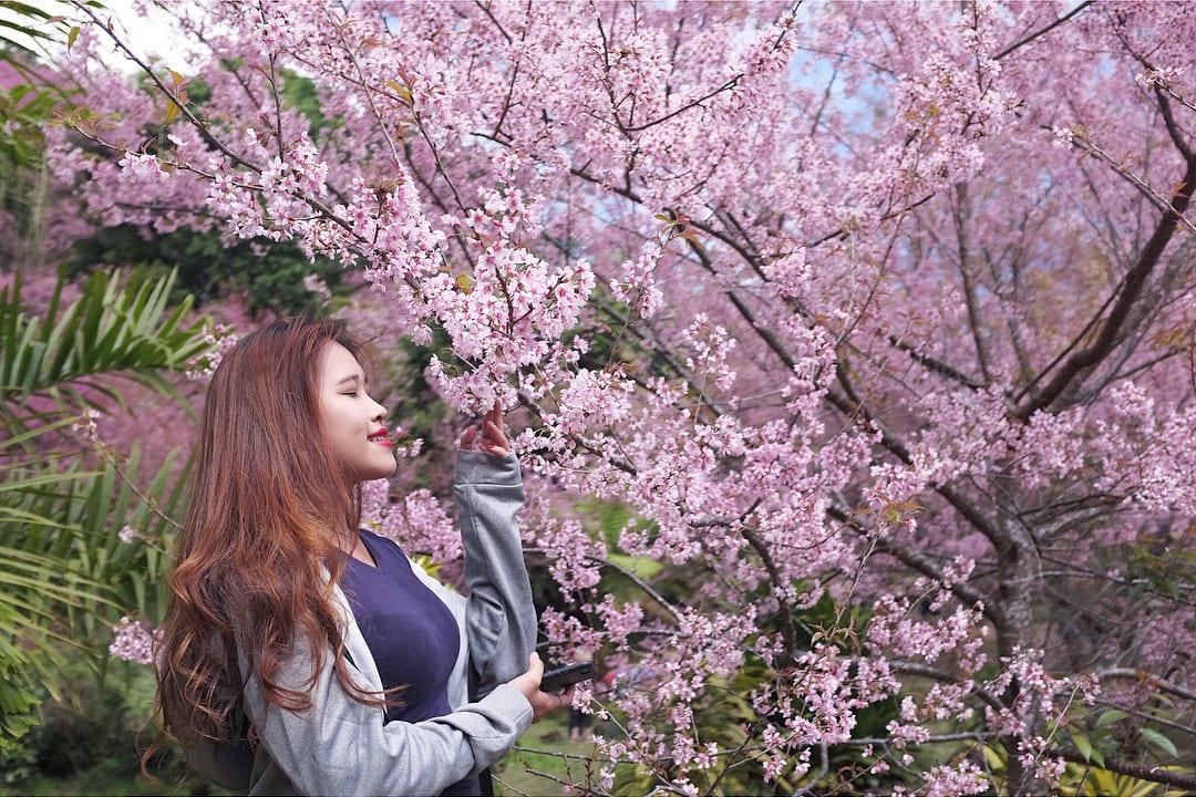 Baan Khun Chang Kian cherry trees
