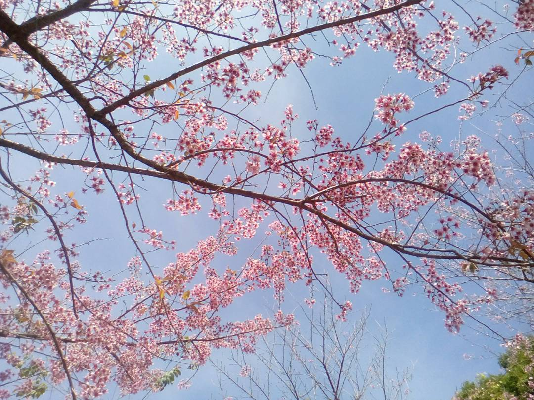 cherry blossoms frame the sky in chiang mai