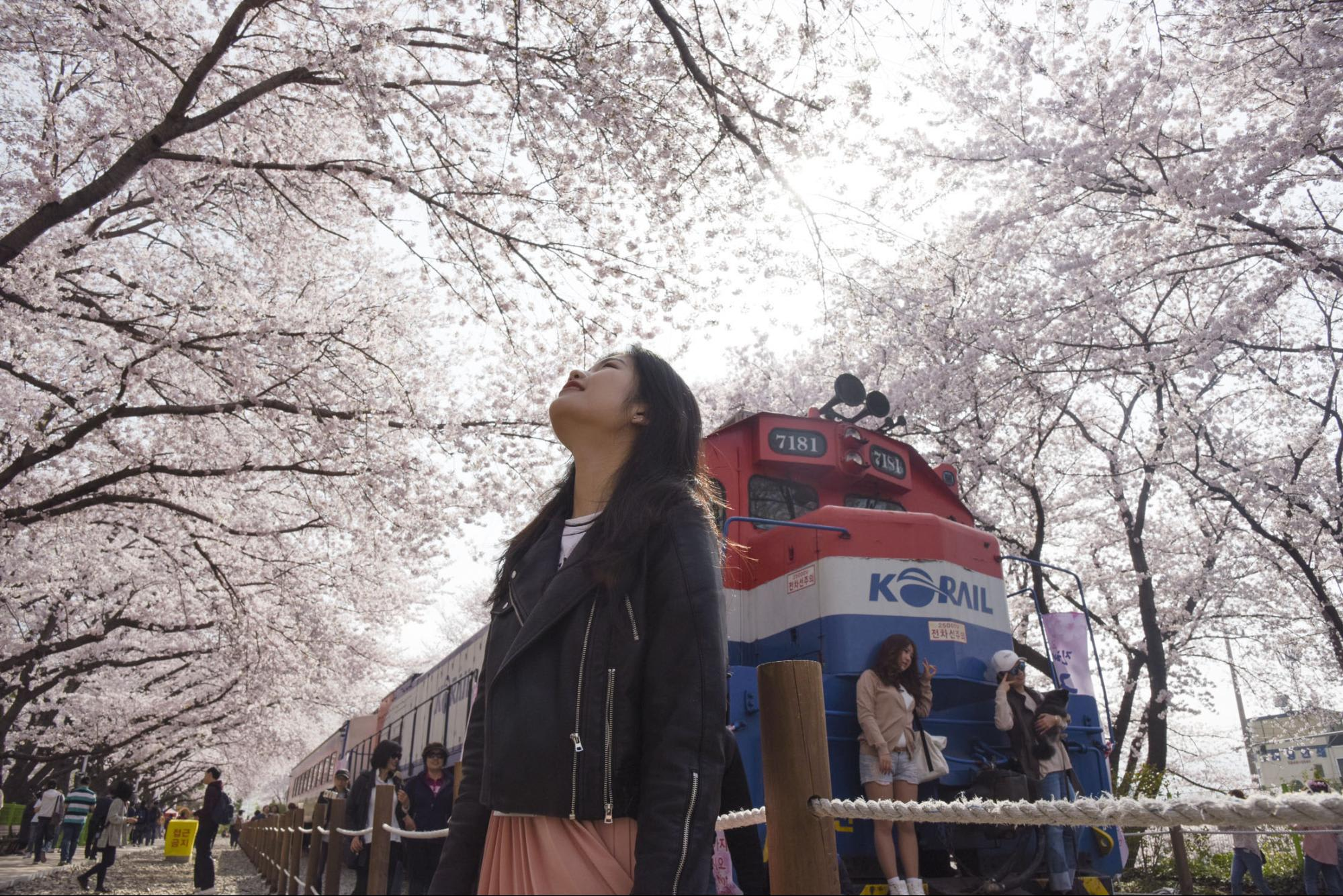 Gyeonghwa Rail train under the cherry blossoms