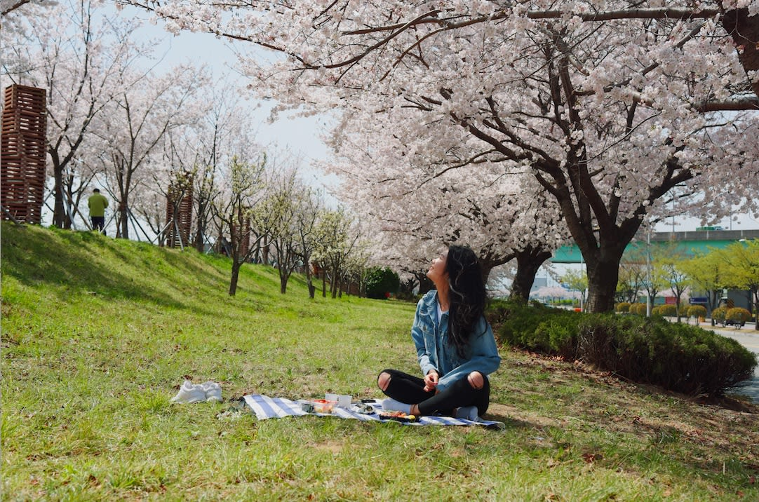 Picnic under the Samnak Park cherry blossoms