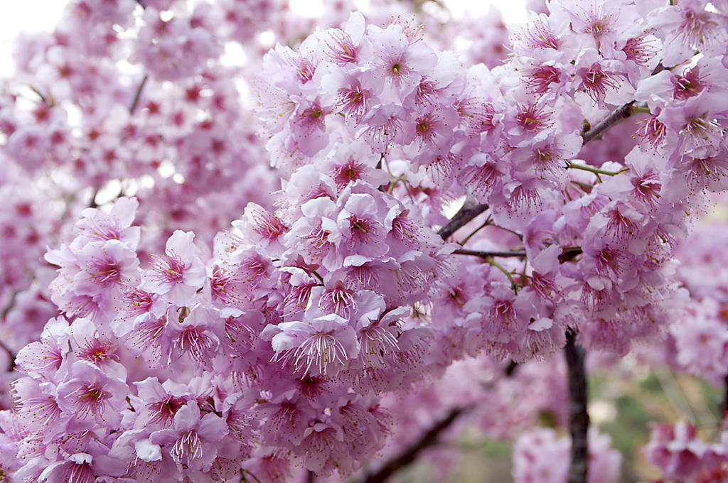 Wuling Farm cherry blossom close up