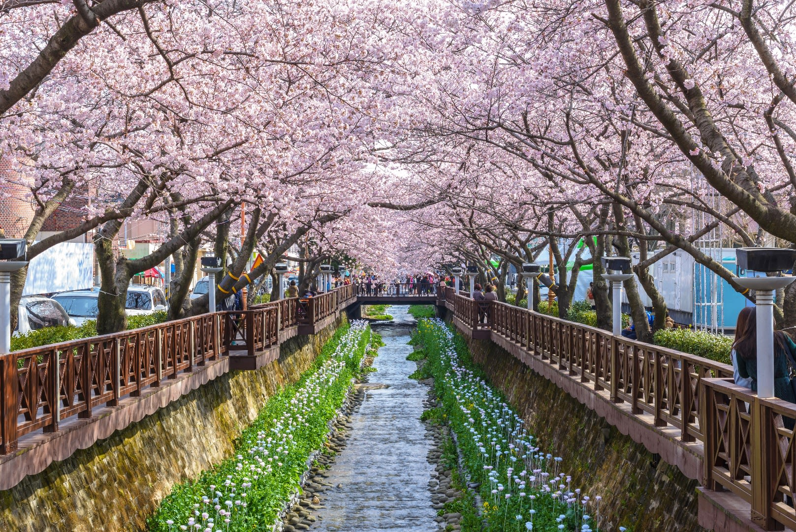 Yeojwacheon Stream cherry blossoms