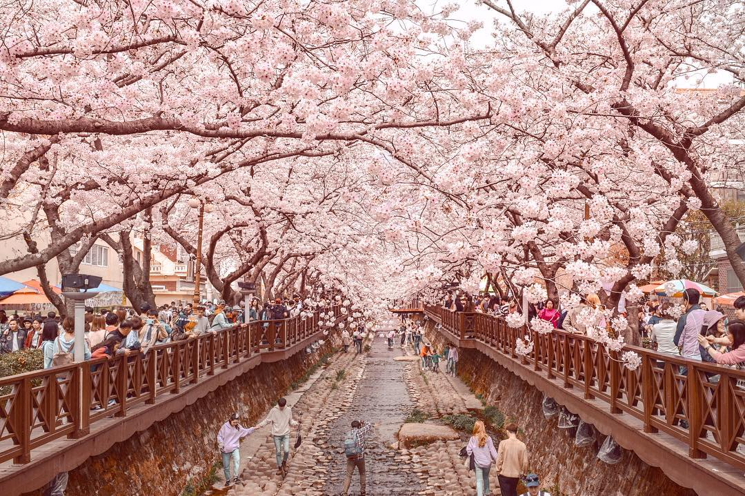 Yeojwacheon cherry blossom walkway