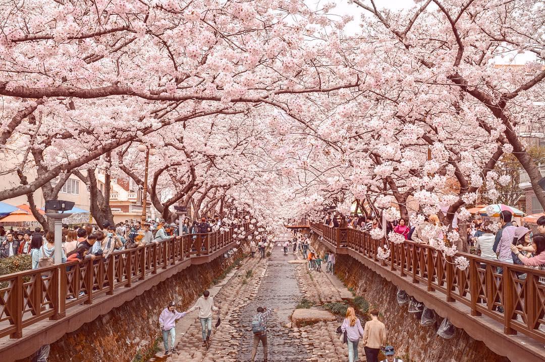 Yeojwacheon cherry blossom walkway