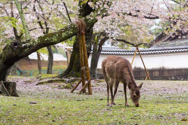 nara park cherry blossom