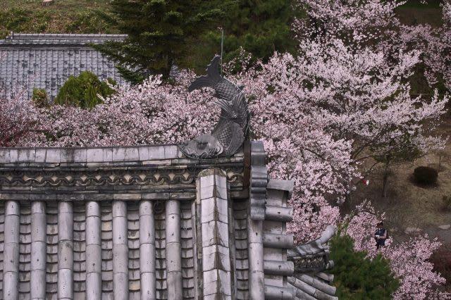 matsumoto castle cherry blossom