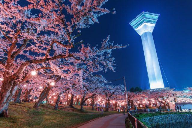 hakodate park cherry blossom
