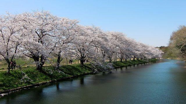 Uminonakamichi Seaside Park cherry blossom