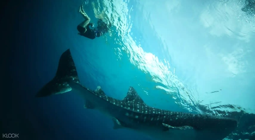 Oslob Whale Shark Diving Philippines