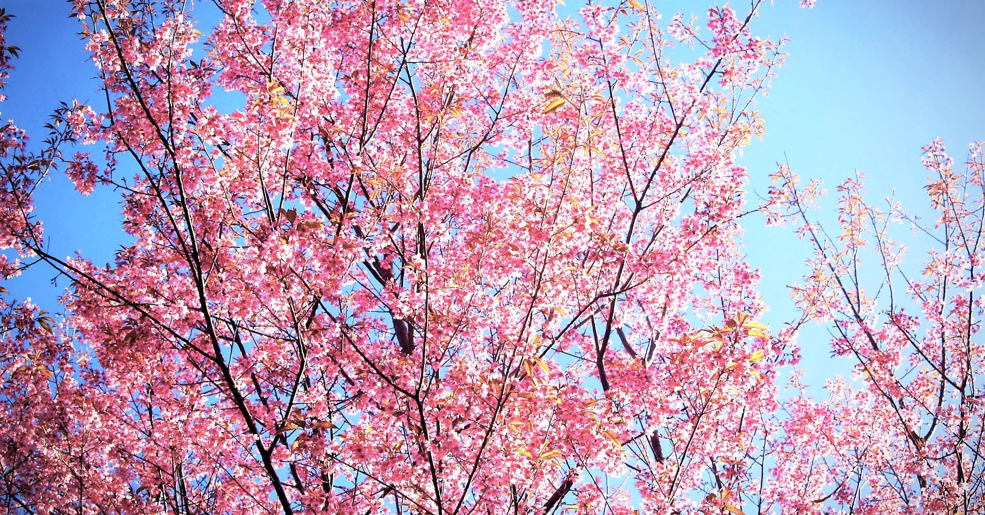 Doi Chang Cherry Blossoms