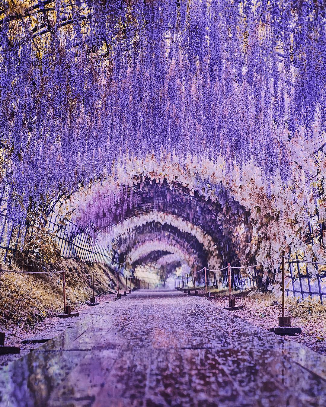 Can T Get Enough Of The Sakura Season Japan S Wisteria Is Just As