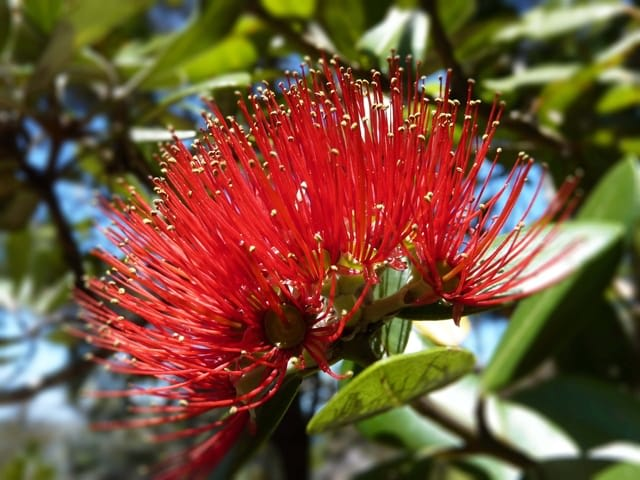 New Zealand Potukawa Tree Flower