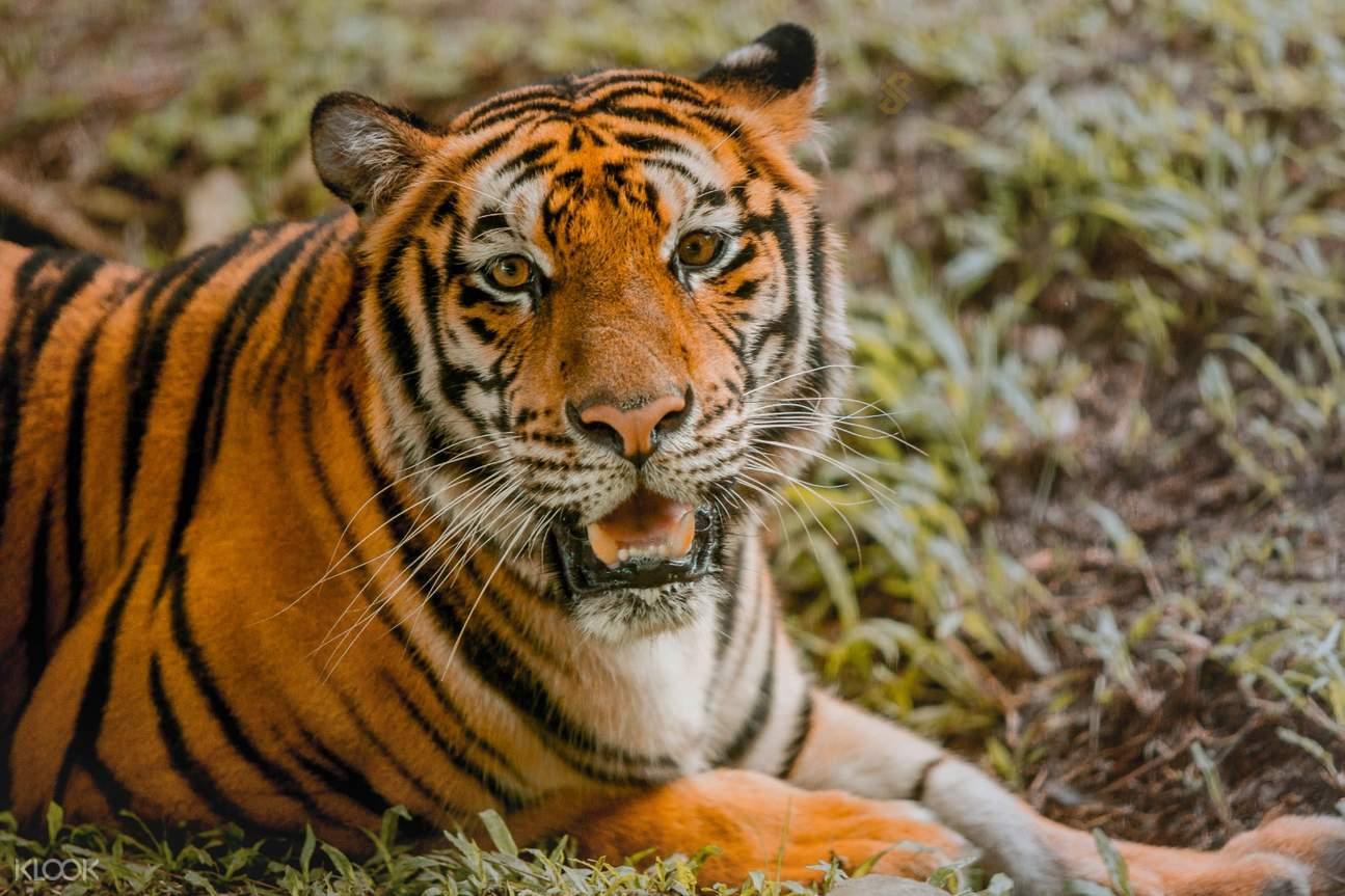 tiger-cebu