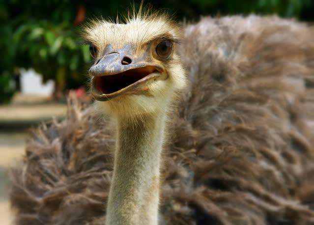 desaru-family-guide-ostrich-farm