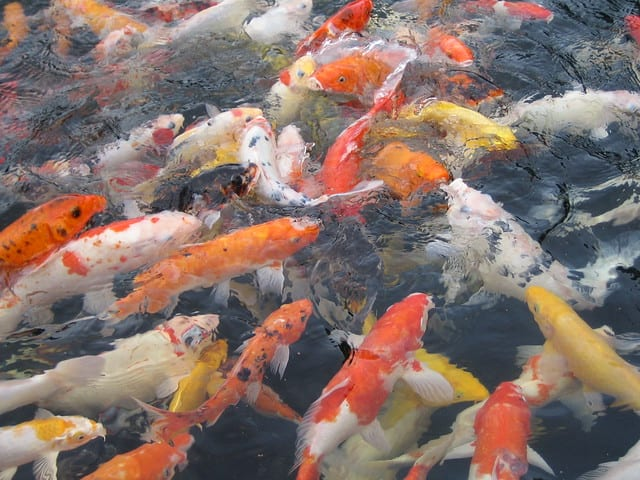 desaru-family-guide-koi-pond