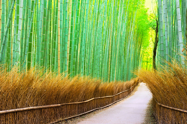 japan-autumn-bamboo-grove
