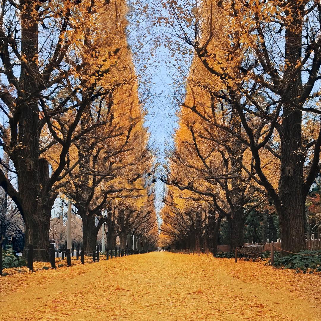 japan-autumn-icho-namiki