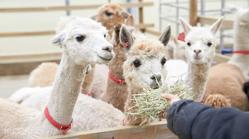 korea-winter-gems-alpaca-world