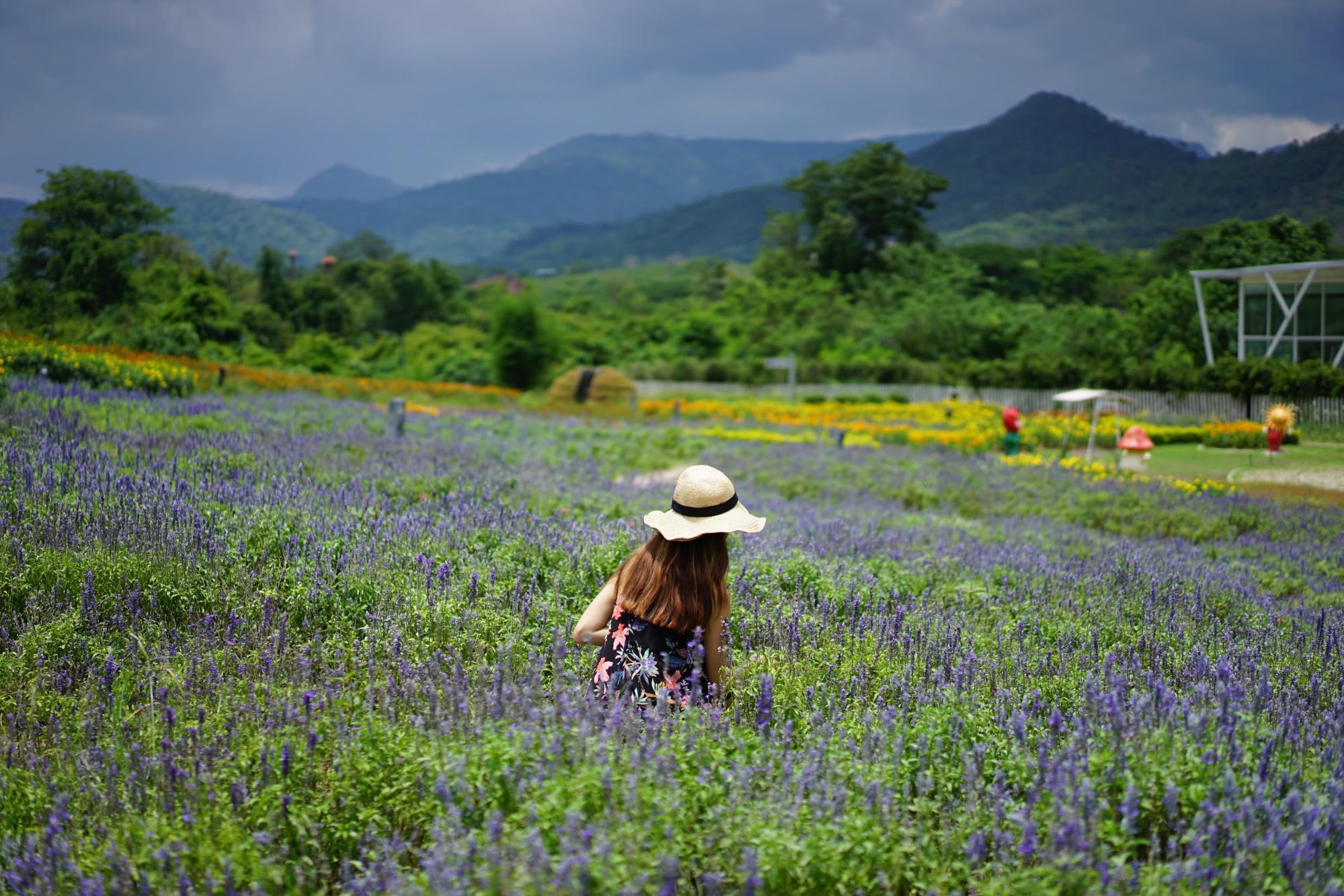 Lavender field in Khao Yai
